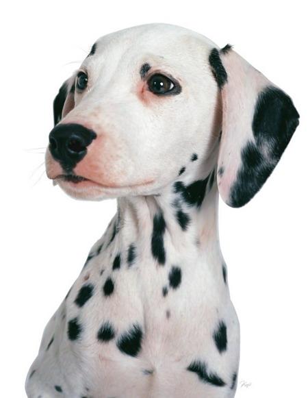 dalmatian.jpg
